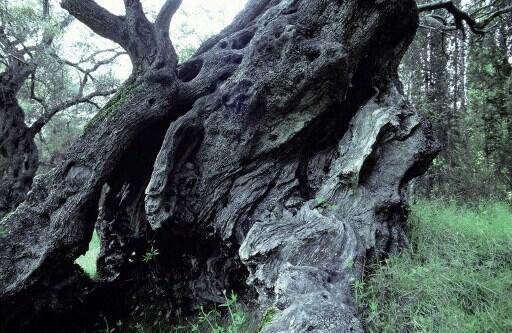 Un olivo milenario en Grecia.