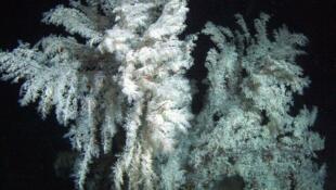 Du corail noir.