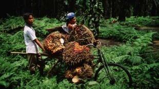 Transport de régimes de palmier à huile après récolte à Sumatra (Indonésie)