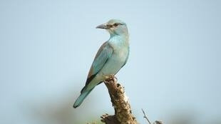The European Roller: an epic migration.