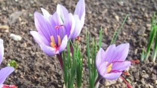 Fleurs de safran.