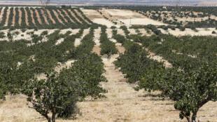 Plantación de pistachos cerca de Hama (centro de Siria), el 24 de junio de 2020