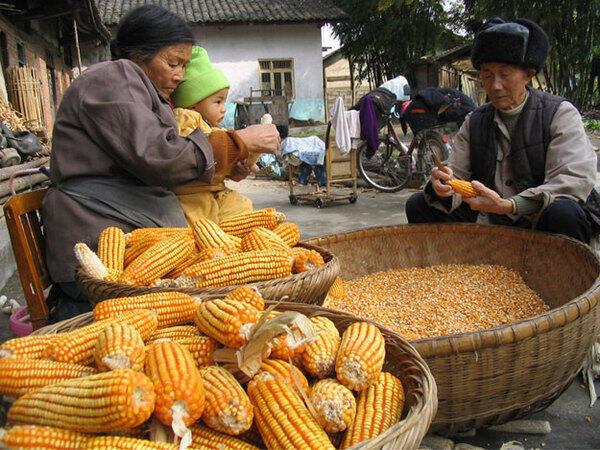 Người nông dân Trung Quốc tẽ ngô để phơi. Ảnh minh họa.