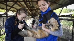 Estudiantes de Veterinaria examinan a un zorro el 10 de septiembre de 2020 cerca de Novosibirsk (Rusia)