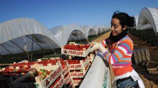 Une immigrée marocaine récoltant des fraises à Huelva, en Espagne.