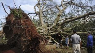 Cây cổ thụ bật gốc sau khi bão Rammasun quét qua Trạm Giang, Quảng Đông, Trung Quốc nhày 19/07/2014.