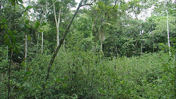 """Los """"jardines del diablo"""" son parcelas donde abunda la Duroia hirsuta. Ahora se sabe que es gracias a la acción de la hormiga limón que destruye todas las otras plantas que no son duroia, provocando """"claros"""" en la selva del Amazonas."""