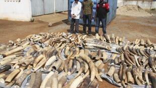 La forte demande des Chinois a provoqué  le massacre de milliers d'éléphants en Afrique, Le continent a perdu presque 25% de ses éléphants en l'espace de dix ans.