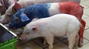"""""""拯救法國飼養農運動"""",一隻養豬場的豬隻身上被畫著法國國旗藍白紅三色。   2016年3月5日"""