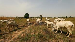 Wani filin kiwo a Paiko, da ke jihar Niger a Najeriya.