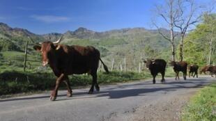 Des vaches Salers, à Mandailles-Saint-Julien, dans le Cantal (centre de la France).