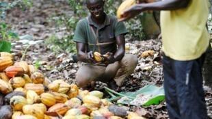 Petits producteurs de cacao en Côte d'Ivoire. Toumodi, en 2018 (image d'illustration).