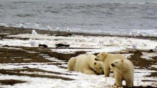 Poluentes químicos ameaçam a população de ursos polares