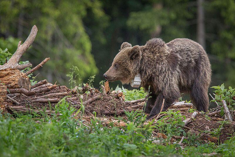 L'ours Iwo lorsqu'il s'est réveillé de son hibernation en Pologne, au printemps 2014.