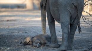 Une femelle près d'un éléphanteau mort au Mana Pools National Park, au Zimbabwe.