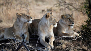Comme les éléphants, les lions n'ont pas bénéficié du niveau de protection maximal qui interdit tout commerce.