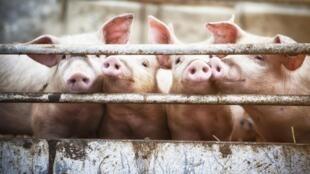 從數量上看,2018年中國從加拿大進口了28萬噸豬肉,為加拿大豬肉第二大出口目的地