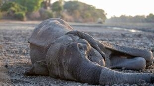An elephant succumbs to hunger in Mana Pools National Park.