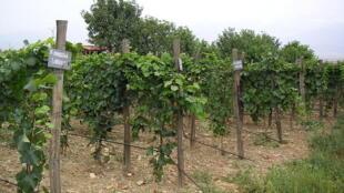 Des vignes en Géorgie.