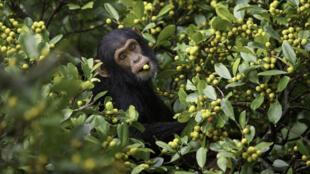Jeune chimpanzé.