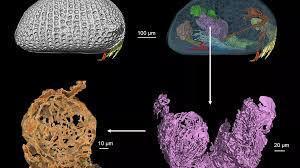 espermatozoide gigante fosilizado