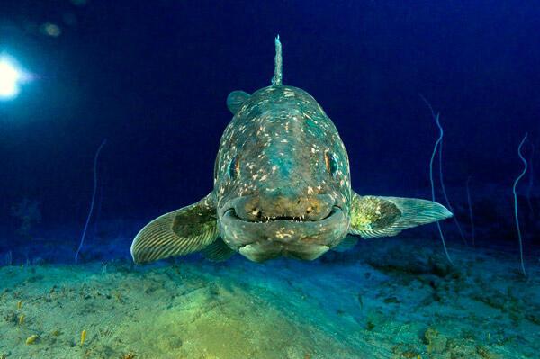 Le poisson préhistorique passionne les paléontologues et chercheurs en tout genre depuis des décennies.