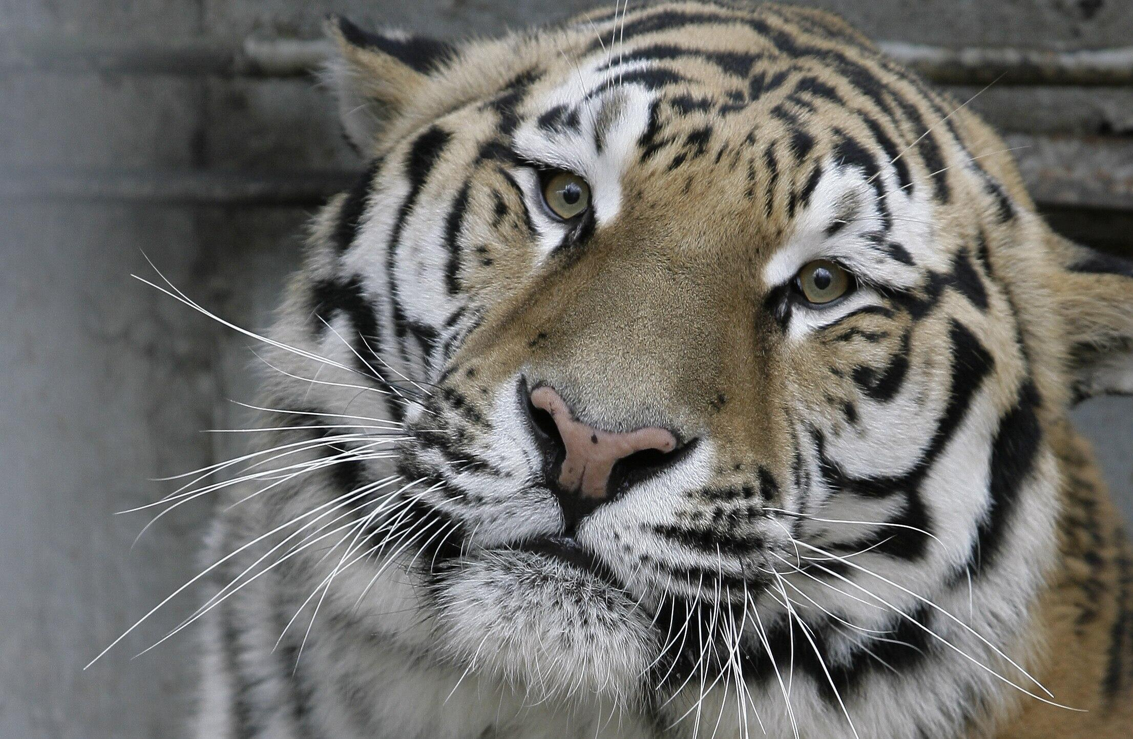 Artyom, a three-year-old Amur tiger, looks out of his enclosure at the zoo of Rostov-on Don