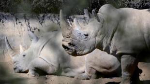 Chaque année, le nombre de rhinocéros tués augmente en Afrique du Sud.