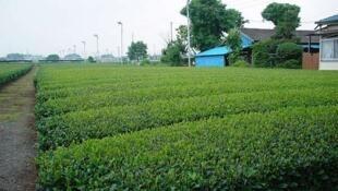 Champs de thé vert japonais.