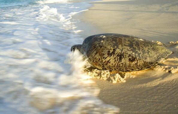 Une tortue verte retourne à la mer après avoir pondu ses oeufs.