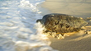 Une tortue verte retourne dans l'eau après avoir pondu ses oeufs.