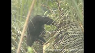 Un chimpanzé adulte mâle sur la colline de Bossou.