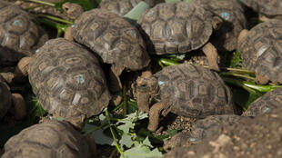 An Ecuadorian policeman was arrested when 185 baby Galapagos giant tortoises (similar to these young ones pictured in January 2018) were found in his suitcase, wrapped in plastic