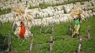 Des femmes ramassent le sisal séché pour le conditionnement dans une usine de transformation au Kenya, troisième exportateur  mondial de cette fibre textile.