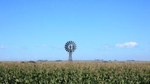 Un champ de maïs en Afrique du Sud.