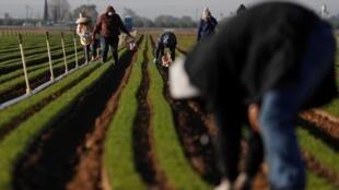 Des agriculteurs en plein travail dans une ferme de Californie, le 3 avril 2020 (image d'illustration).