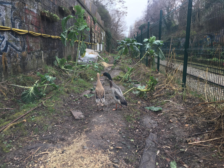 The two ducks of the La Recyclerie urban farm in Paris.