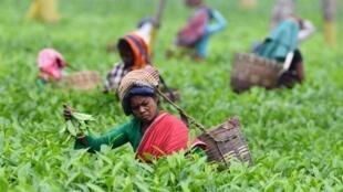 Les cueilleurs de thé se sont joints aux agriculteurs, qui protestent contre la libéralisation de la vente de fruits et légumes.