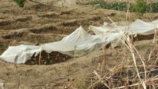 Mise en pratique des cours de production maraichère dans le jardin de Manako (nord-est du Mali) par des anciens élèves des Maisons Familiales Rurales.