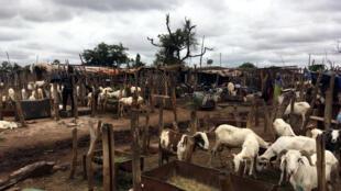 Le Garbal de Niamana est le plus grand marché à bestiaux d'exportation de Bamako.