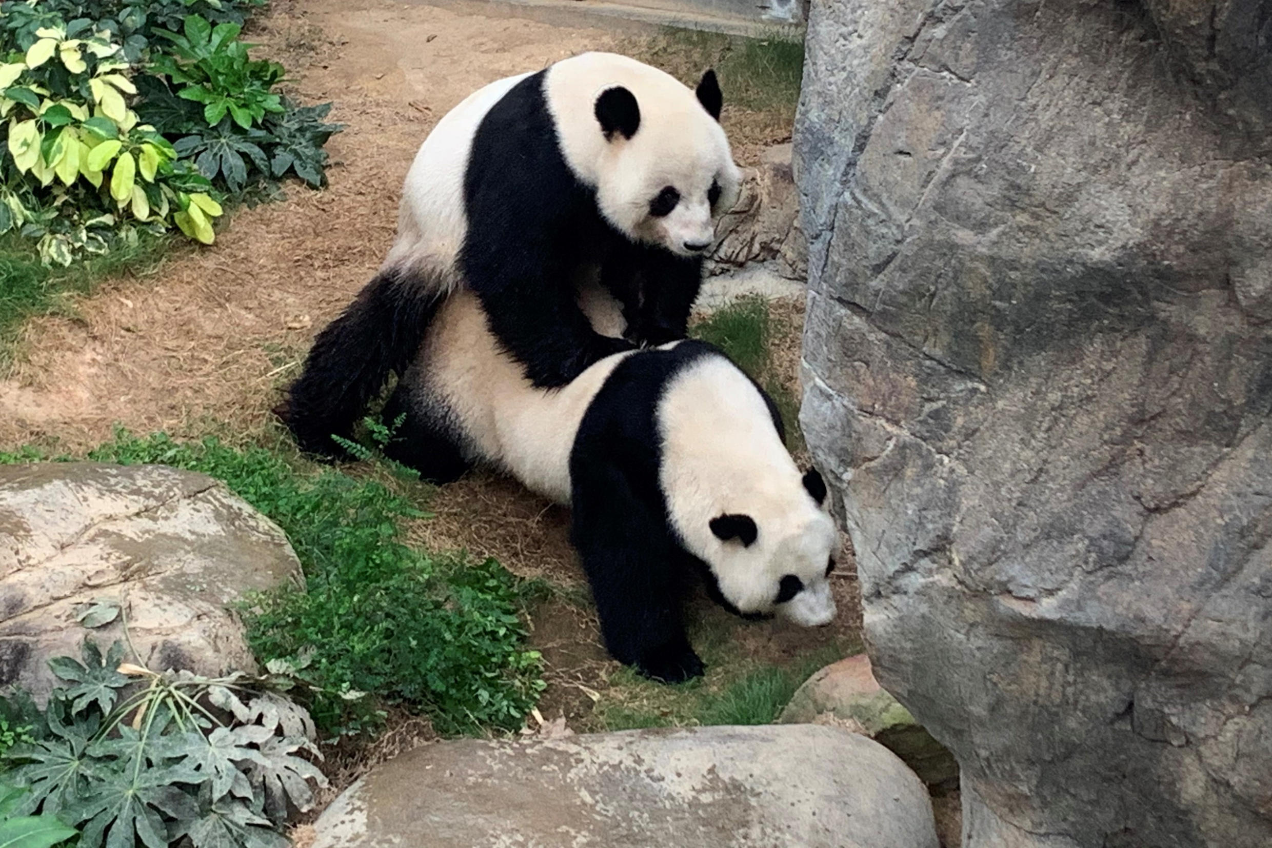 Ying Ying and Le Le, giant pandas at Ocean Park in Hong-Kong, mated naturally for the first time in a decade of trying, two months after the theme park closed its doors to the public over coronavirus.