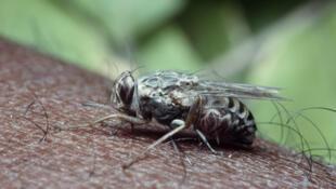 La mouche tropicale tsé-tsé est porteuse de la maladie mortelle du sommeil.