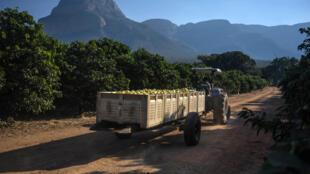 Une exploitation de citronnier dans le Limpopo, en Afrique du Sud. L'exploitation, détenue par des fermiers blancs, a été restituée à une communauté noire, en 2017.