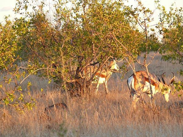 Gazelles dans le Kunene (Namibie).