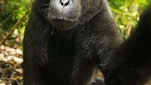Chân dung tự chụp của 'cô' khỉ với máy của nhà nhiếp ảnh David Slater trong rừng Sulawesi, Indonessia.