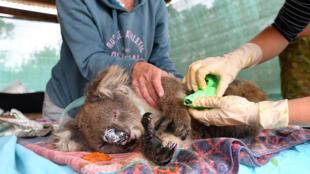 Veterinários e voluntários tentam salvar coalas nos incêndios da Austrália.