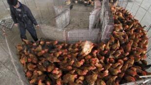 Gà thải loại từ Trung Quốc : Một con đường lan truyền virus cúm chủ yếu. Trong ảnh, tại một chợ gà vịt ở Nam Kinh, tỉnh Giang Tô, 05/04/2013 (REUTERS /China Daily)