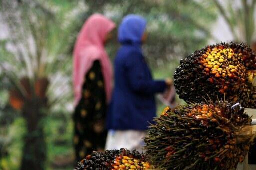 En Europe, l'industrie agroalimentaire est confrontée au rejet de l'huile de palme. Photo d'une grappe de fruits du palmier à huile en Malaisie.
