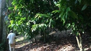 Augustin Daouda Diallo au milieu de ses plantations de cacaoyers dans l'Agnéby-Tiassa, région située entre Abidjan et Yamoussoukro (juin 2019).