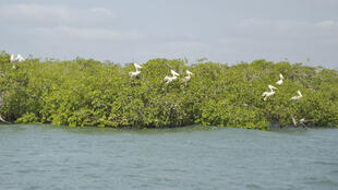 Pelicans in the mangrove